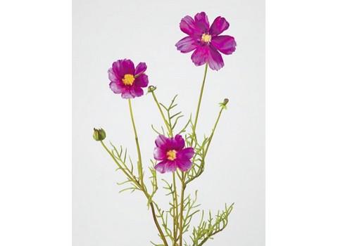 Космея фиолетовая 48см