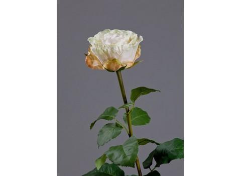 Роза Английская Большая 66см