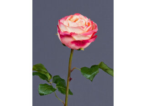 Роза Джема 56см