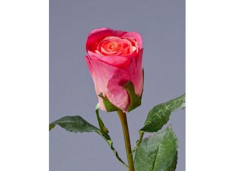 Роза Ла Бель 55см