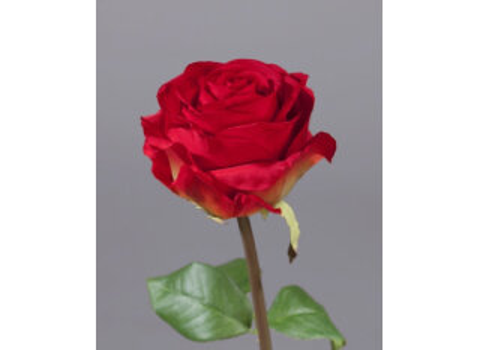 Роза Соло Нью большая 72см